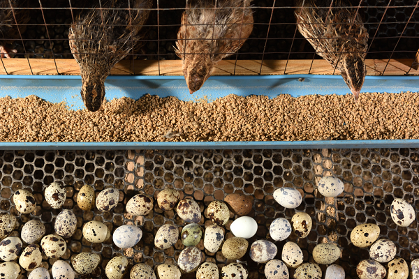 quail farming in nigeria