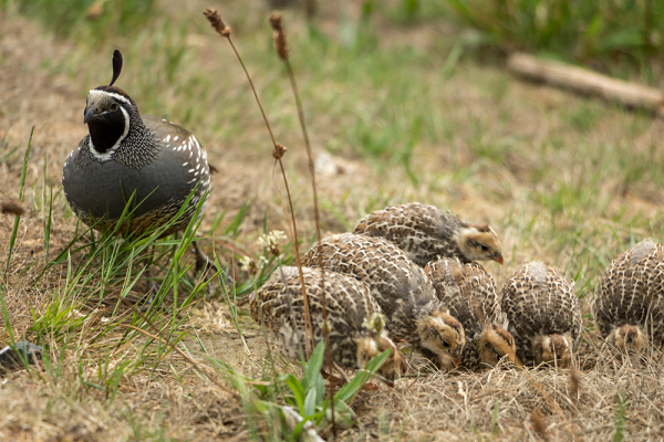 quail feeding Information